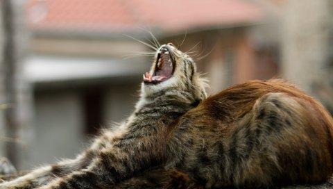 Кошка, зевая, ложь, пушистая