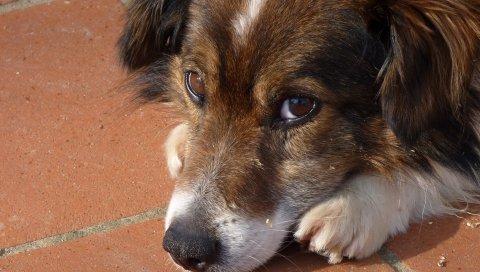 Собака, морда, глаза, грусть, крупный план