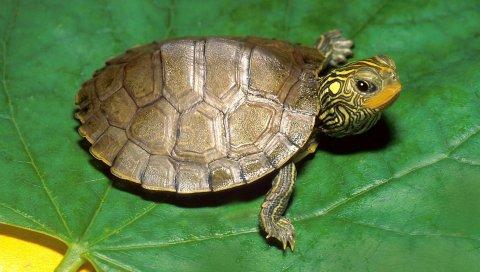 Черепаха, лист, раковина, голова