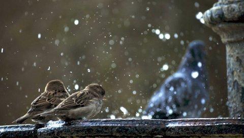 Воробьи, птицы, зима, снег, холод, пар, выживание