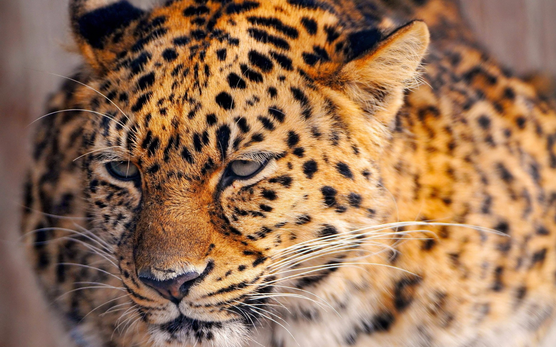 Картинки Леопард, взгляд, усталый, лицо, пятнистый фото и обои на рабочий стол