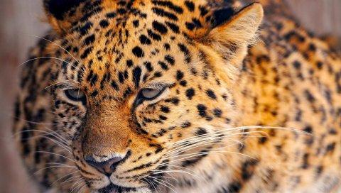 Леопард, взгляд, усталый, лицо, пятнистый