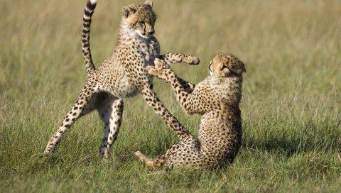 Гепарды, детёныши, игры, поля