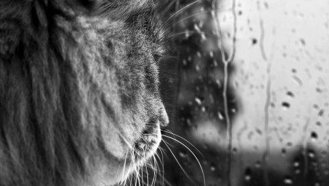 Кошка, черный белый, стекло, окно, капля, ожидание, настроение