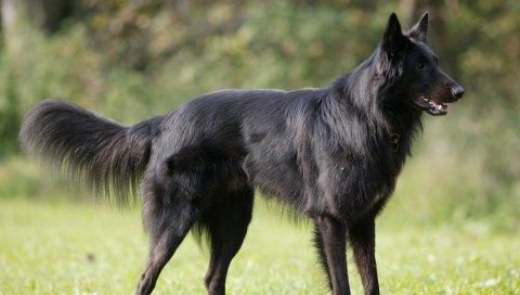 Бельгийский пастух, пальто, собака, прогулка, трава