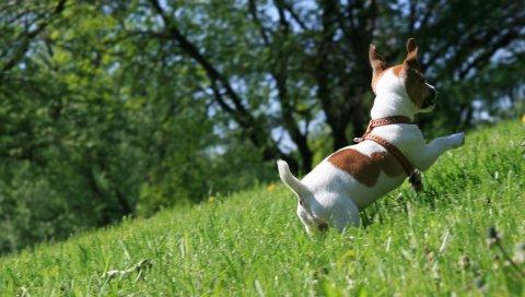Собака, трава, щенок, игра, прыжок