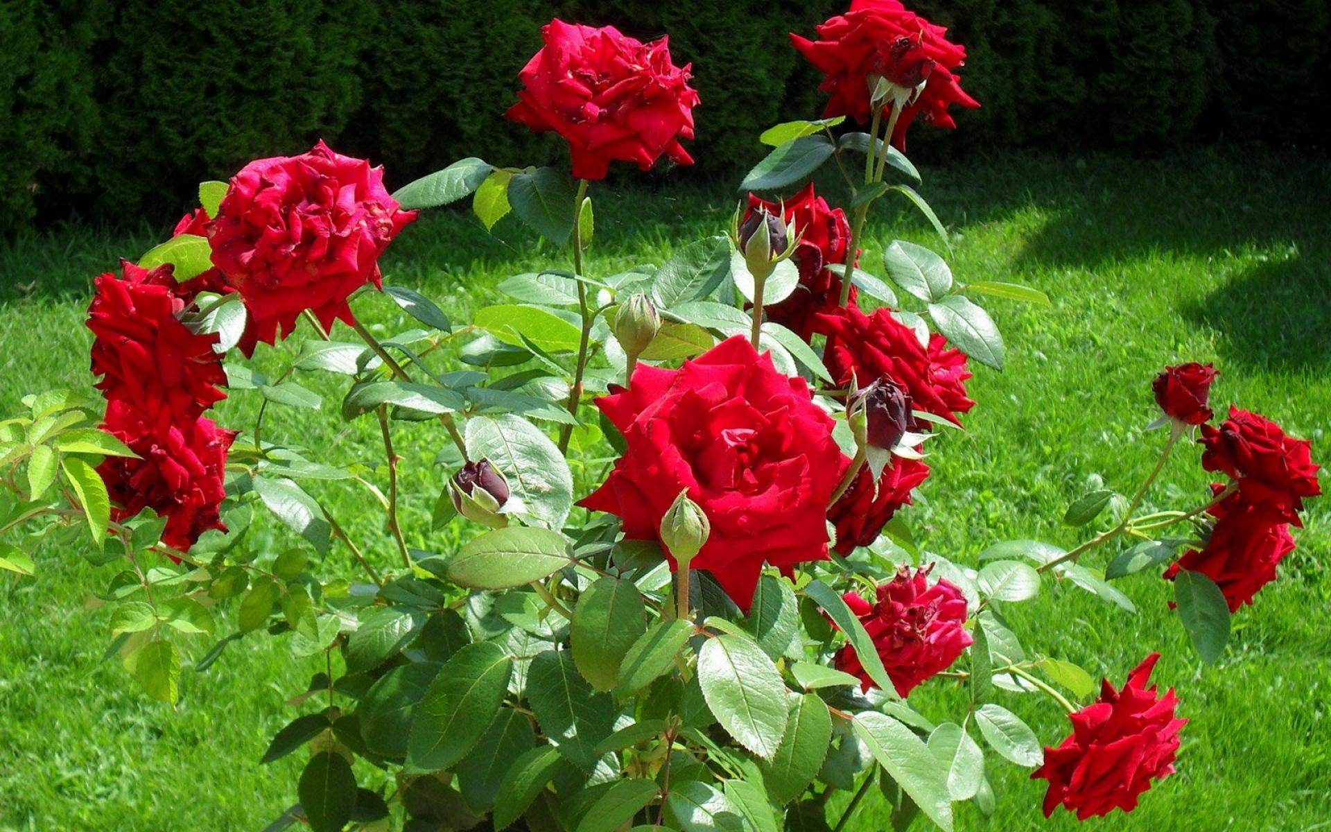 Картинки Роза, красный, куст, трава, солнечный фото и обои на рабочий стол