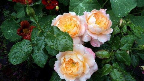 Розы, цветы, травы, кусты, капля, свежесть