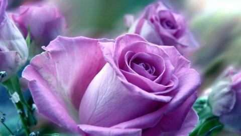 Розы, цветы, фиолетовый, цветок, крупный план