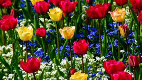 Тюльпаны, забыть меня, цветы, травы, красота, настроение