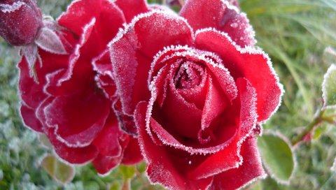 Розы, цветы, мороз, холод, лепестки