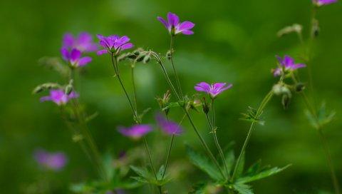 Цветы, маленький, зеленый, поле