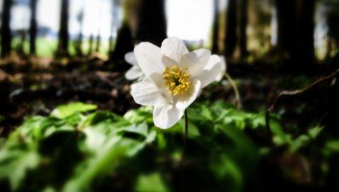 Цветок, лес, природа, зелень, деревья