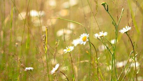Ромашки, цветы, поле, природа, лето, трава