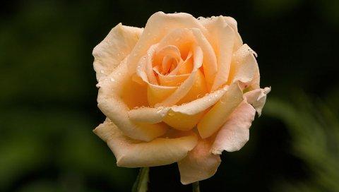 Роза, цветок, почка, капля, свежесть