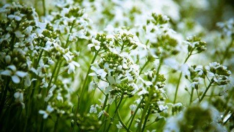 Цветы, белый, природа, растения