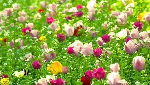 Тюльпаны, цветы, поле, разные, природа