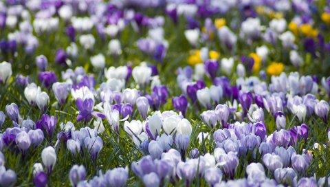 Крокусы, цветы, луг, разные, весна, первоцвет