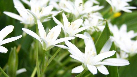 Лилия, цветы, белый, нежный, зеленый