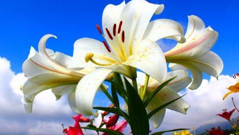 Лилии, цветы, много, небо, облака, солнечный, настроение