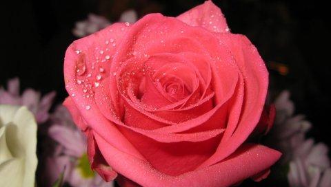 Розы, цветы, макро, падение