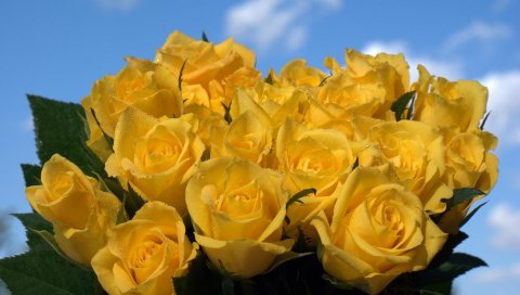 Розы, цветы, цветок, желтый, небо, капли