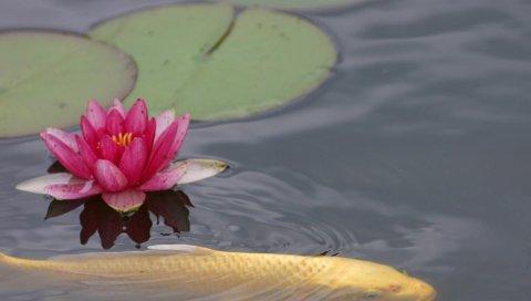 Вода-лилия, листья, вода, рыба, пруд