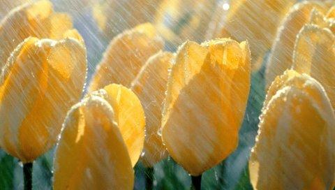 Тюльпаны, цветы, желтый, дождь, капли, свежие