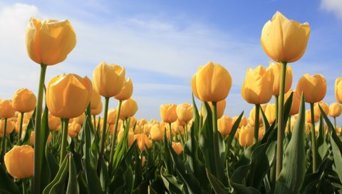 Тюльпаны, цветы, желтый, небо, солнце