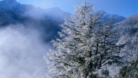 Зима, елки, верх, туман, иней, сосульки