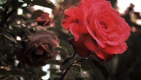 Розы, цветы, капли, стебли, дождь, сад