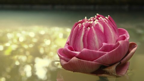 Цветок, вода, поверхность, отражения