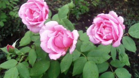 Розы, цветы, капли, листья, дождь, земля
