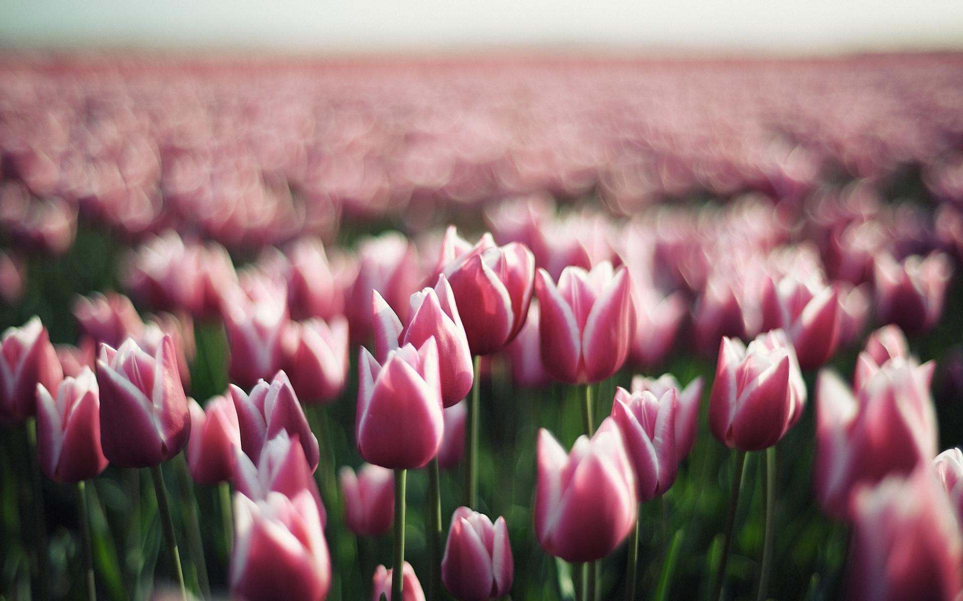 Картинки Тюльпаны, цветы, плантация, зелень фото и обои на рабочий стол