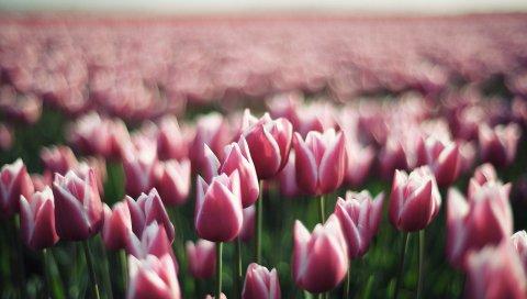 Тюльпаны, цветы, плантация, зелень