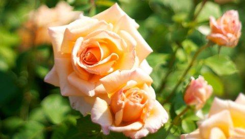 Розы, бутоны, цветы, макро, зеленый