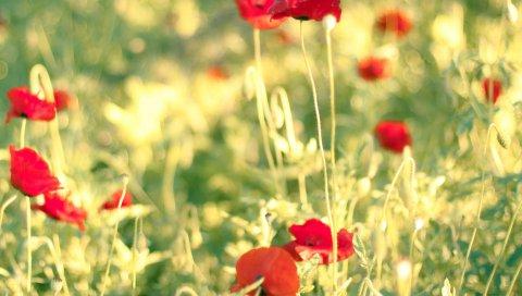 Маки, цветы, поле, размытие, лето