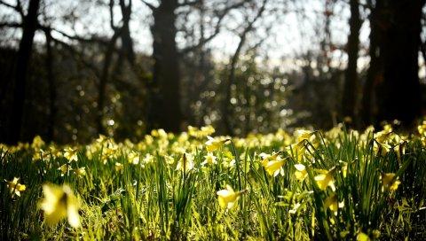 Нарциссы, весна, лес, природа, размышления