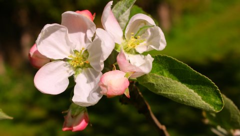 Цветы, ветки, листья, бутон, тычинки, весна
