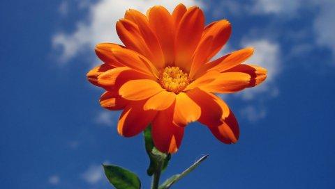 Цветок, апельсин, небо, облако