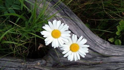Ромашки, цветы, лес, трава