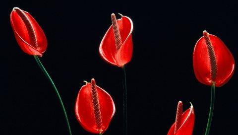 Калла лилии, цветы, стебли, красный, черный