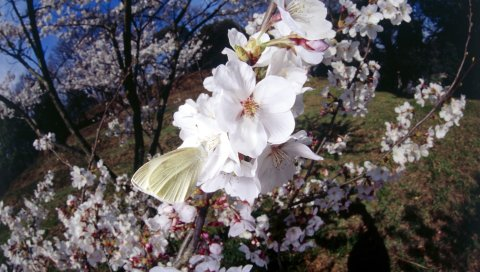 Цветы, цветущие, весна, ветка, бабочка