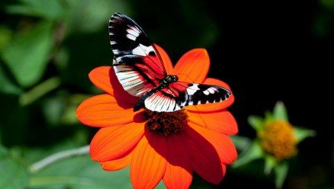 Бабочка, цветок, полет, крылья
