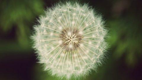 Одуванчик, пух, трава, цветок