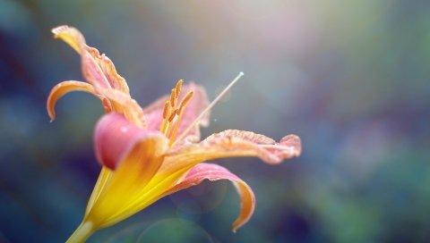 Цветок, лилия, лепестки, изогнутые