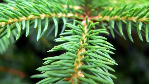 Ель, ветка, дерево, зеленый, куст