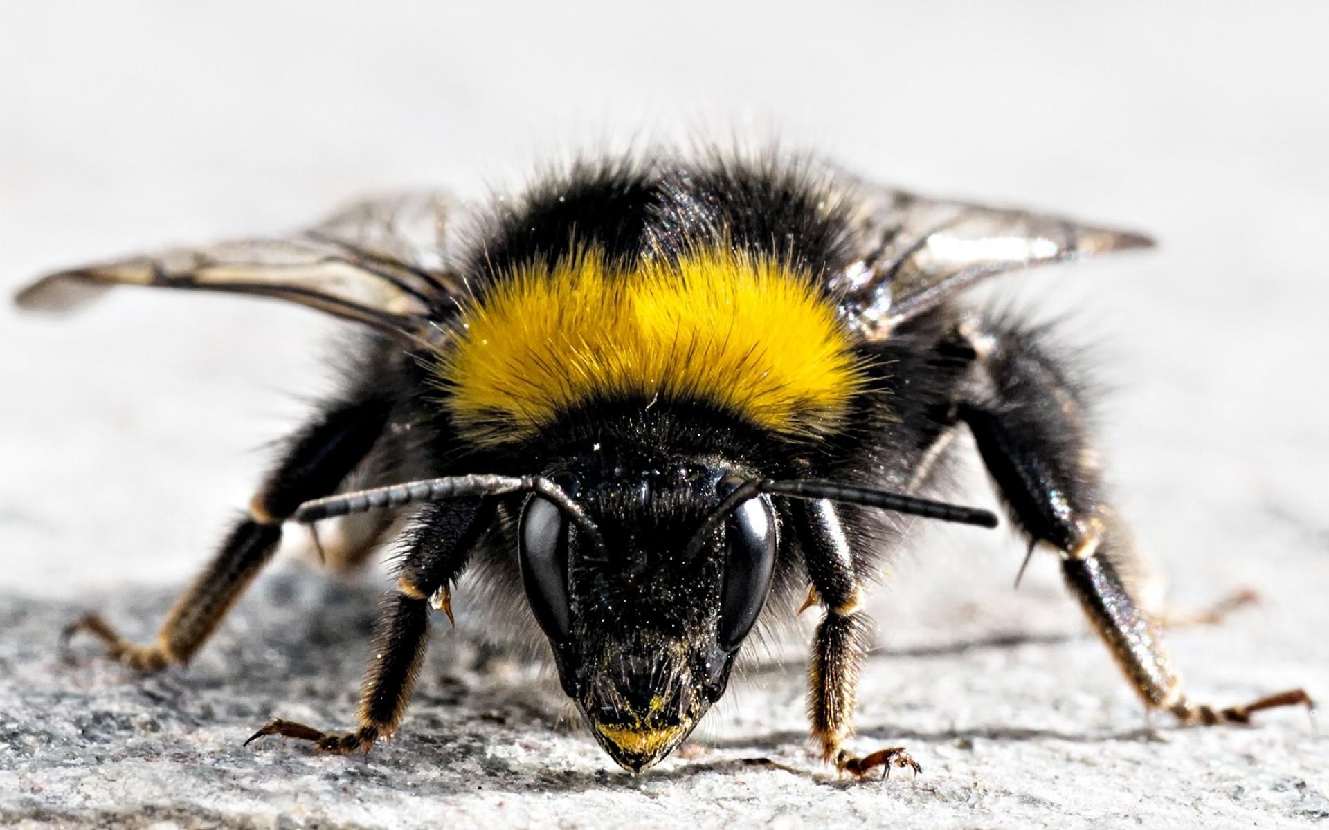 Картинки Пчела, насекомое, поверхность, крылья, полосатые фото и обои на рабочий стол