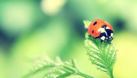Божья коровка, трава, растения, ползание, насекомое