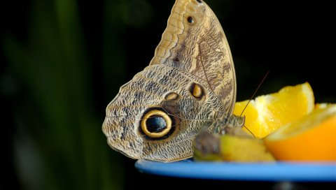 Бабочка, апельсин, миска, цитрусовые